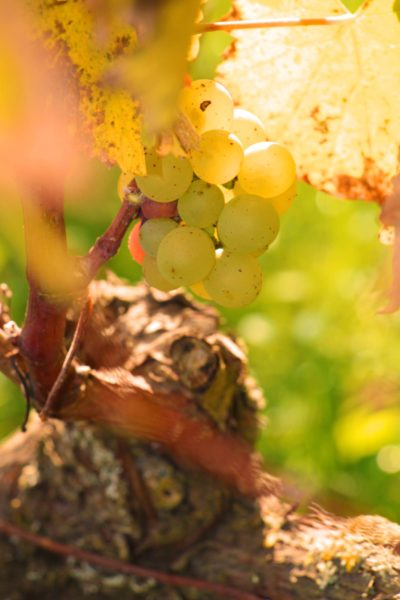 ODG Montlouis-raisins blancs-2018-OT Montlouis-Vouvray