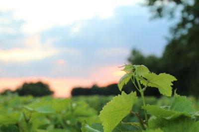 Vignes de Chancay - N.BRUERRE - OT Montlouis-Vouvray