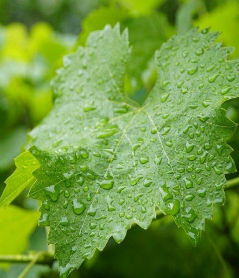 Feuille de vigne sous la pluie